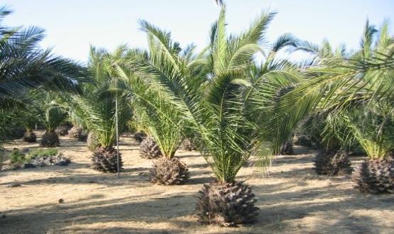 Pantelleria le antiche palme di giorgio armani - Costo palma da giardino ...