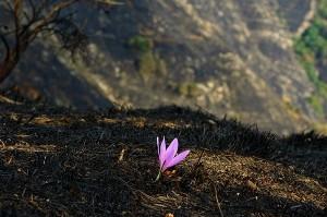 Fiore della Speranza