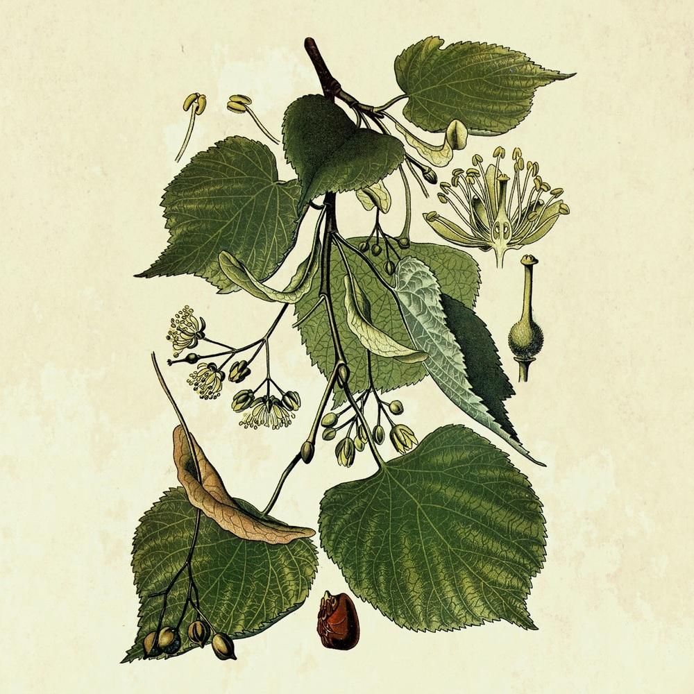 L 39 acero il tiglio e l 39 ippocastano le foglie ed i colori for Tiglio albero