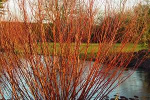 Rami e colori dell 39 autunno il salice il cornus il rubus for Rami di salice