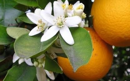 Liquore ai fiori di arancio, ecco come prepararlo