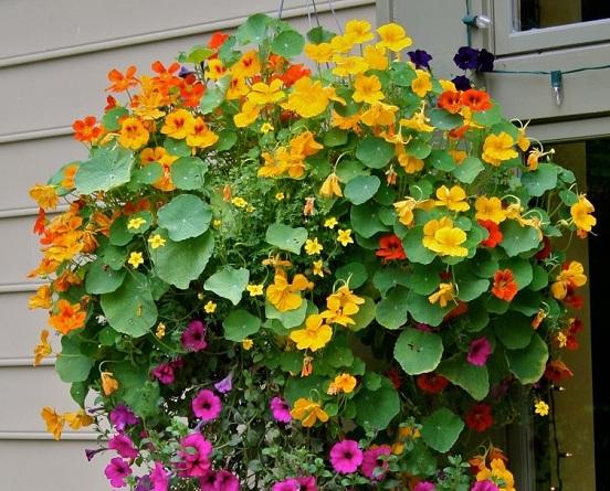 tropaeolum majus nasturzio una pianta facile da coltivare