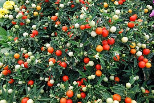 ... Semirustica E Sempreverde, Presenta Foglie Ovate Di Colore Verde Scuro.  Da Giugno A Settembre Produce Fiori Stellati Azzurro Porpora, Con ...