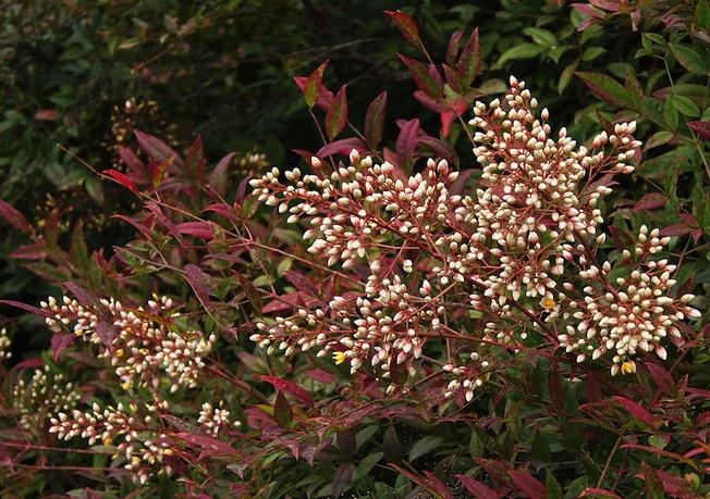 La nandina fiori bianchi in primavera foglie e bacche for Pianta con la p