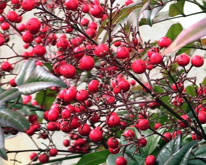 La nandina fiori bianchi in primavera foglie e bacche for Pianta ornamentale con bacche rosse