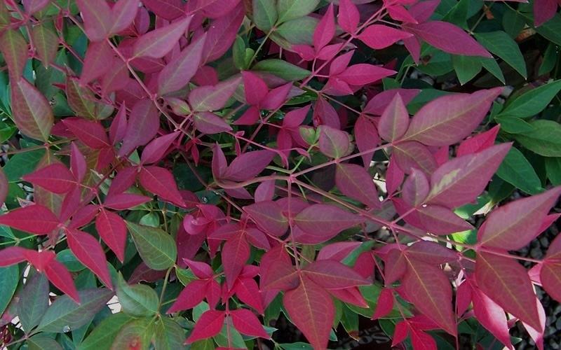 La nandina fiori bianchi in primavera foglie e bacche for Pianta con foglie rosse