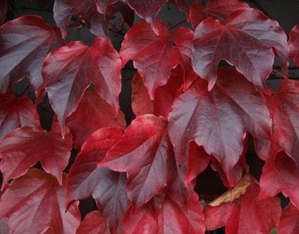 La vite americana rampicante dalle foglie verdi che si for Pianta ornamentale con foglie rosse e verdi