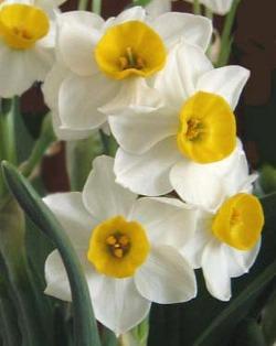 Il narciso una bulbosa facilissima da coltivare in vasi for Narciso giallo