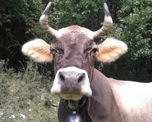 """Viaggio """"fuori porta"""" alla scoperta di una ligure doc, la mucca cabannina"""