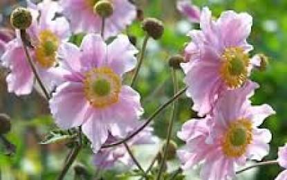 Articoli di era superba sul tema giardini pagina 2 di 9 for Anemone giapponese