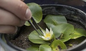 Nymphaea thermarum water lily