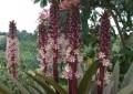 """Il """"Giglio ad ananas"""": una pianta sudafricana dalla spettacolare fioritura estiva"""