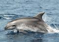 Delfini Metropolitani, il progetto di ricerca dell'Acquario di Genova nel Santuario dei cetacei